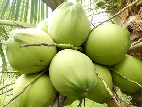 Xuất khẩu dừa sang Hàn Quốc